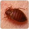 Bed Bug Control Shrayhill