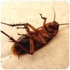 Cockroach Control Wednesfield