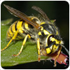 Wasp Control Wednesfield